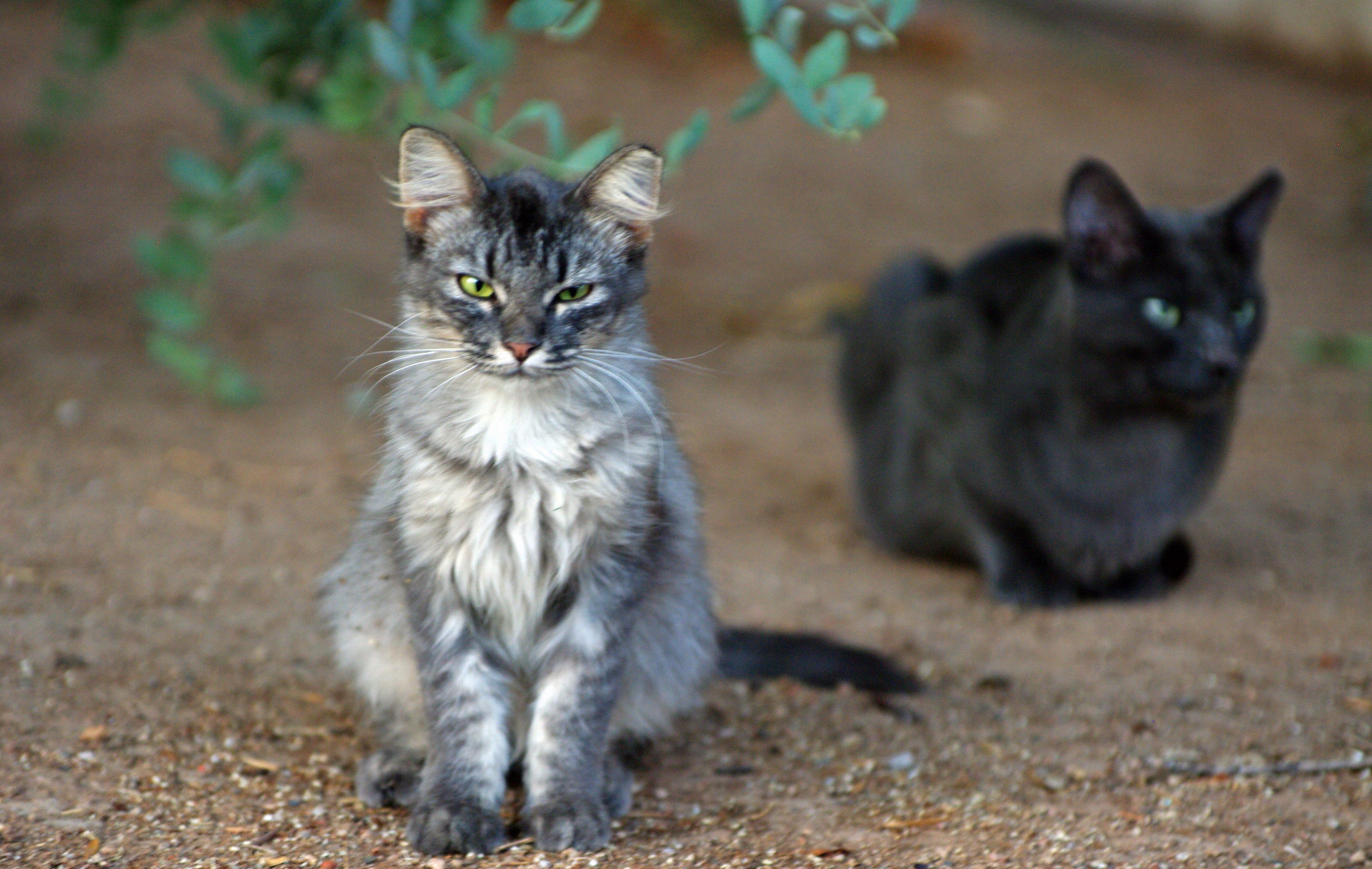 https://www.adlaz.org/wp-content/uploads/2016/03/Phx-cats-cropped-1-1.jpg